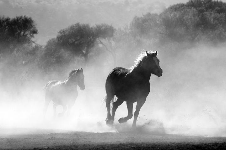 horses running blk wht